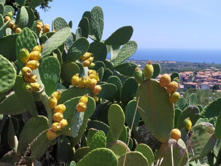 Il Fico d'India: pianta simbolo della Sicilia.
